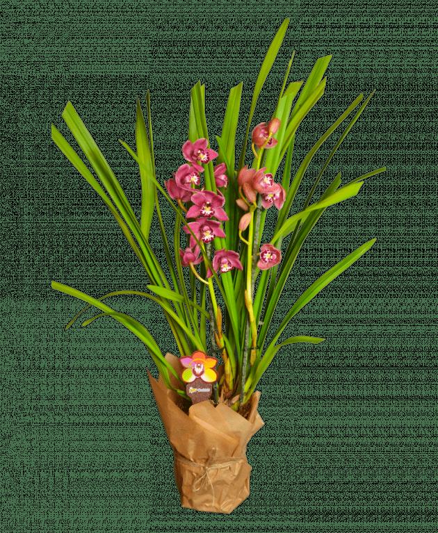 Цимбидиум – Интернет-магазин цветов STUDIO Flores