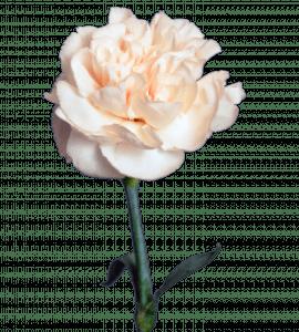 Гвоздика кремовая – Интернет-магазин цветов STUDIO Flores