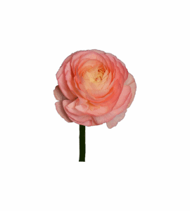 Ранункулус розовый – Интернет-магазин цветов STUDIO Flores