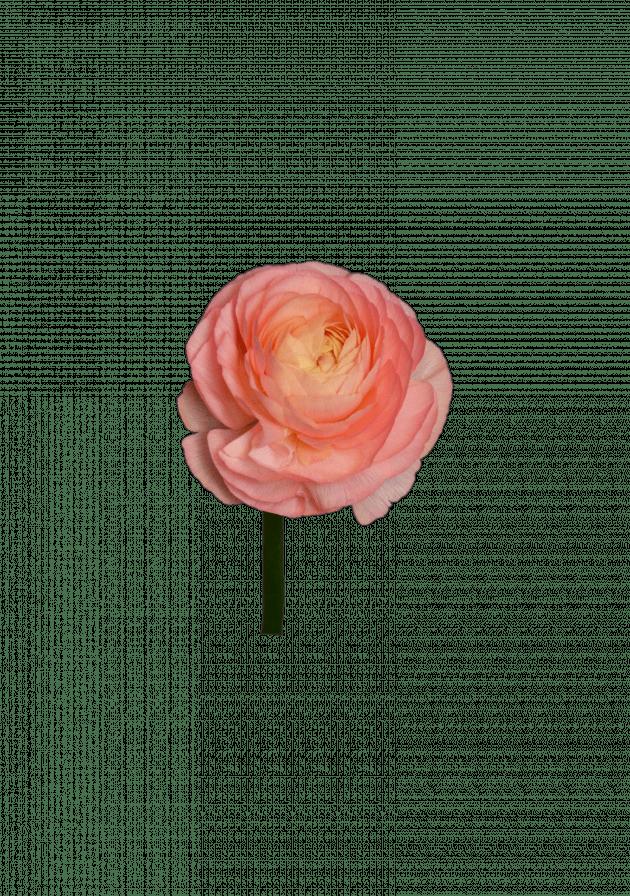 Ранункулус рожевий – Інтернет-магазин квітів STUDIO Flores