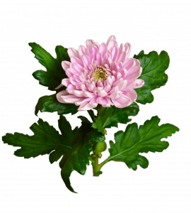Хризантема Розовая – Интернет-магазин цветов STUDIO Flores