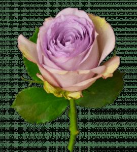 Роза Лулабу – Інтернет-магазин квітів STUDIO Flores