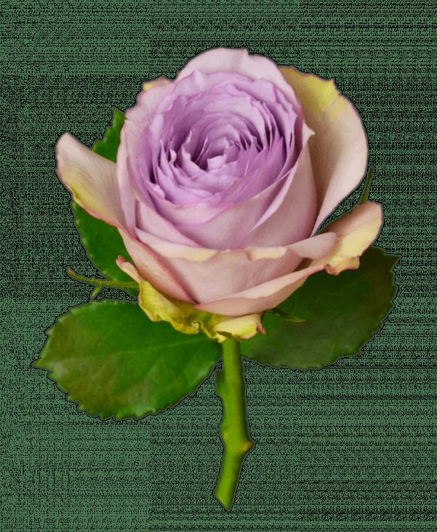 Роза Лулабу – Интернет-магазин цветов STUDIO Flores