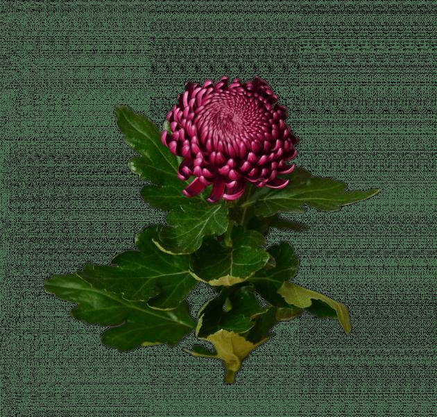 Хризантема бордова – Інтернет-магазин квітів STUDIO Flores