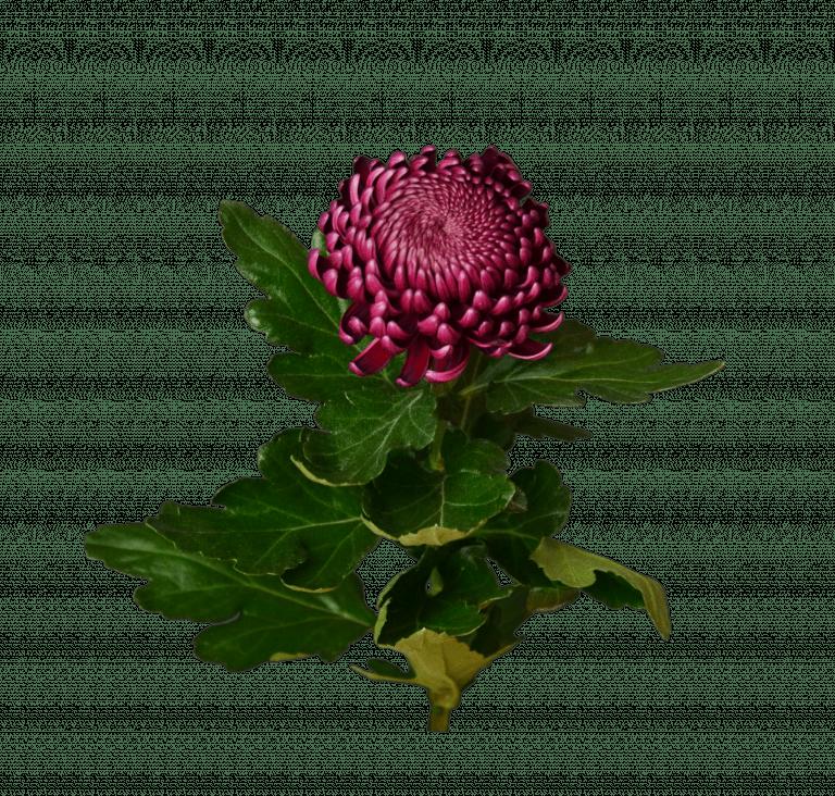 Хризантема бордовая – Интернет-магазин цветов STUDIO Flores