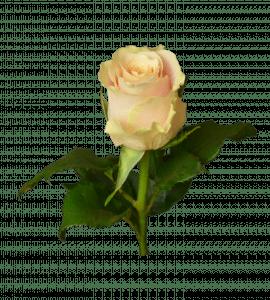 """Роза """"Шарман"""" – Інтернет-магазин квітів STUDIO Flores"""