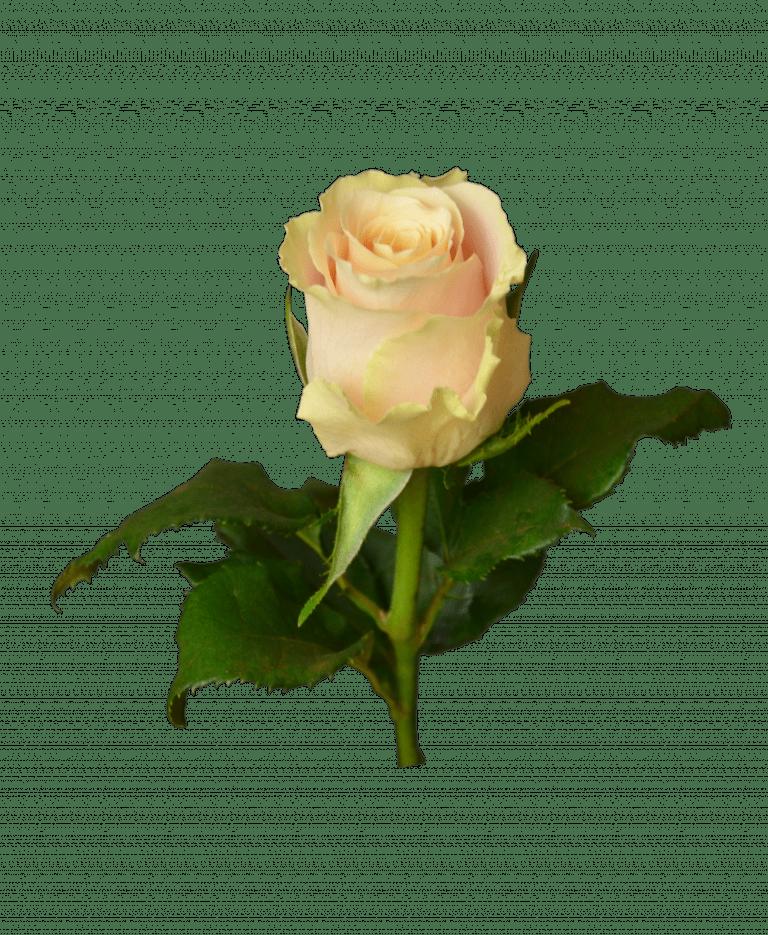 """Троянда """"Шарман"""" – Інтернет-магазин квітів STUDIO Flores"""