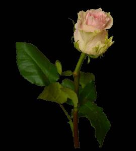 Роза Дюшес – Інтернет-магазин квітів STUDIO Flores
