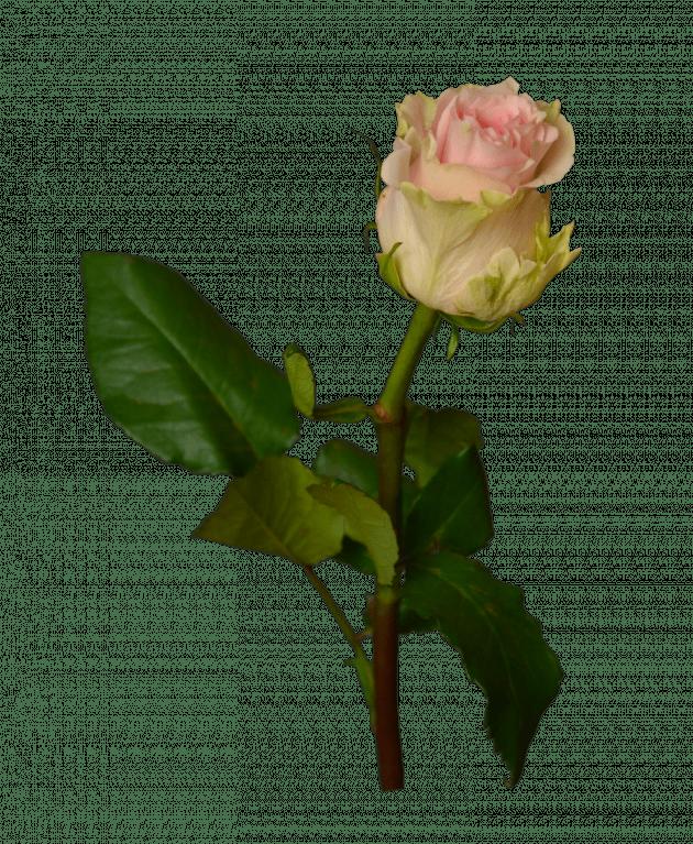 Роза Дюшес – Интернет-магазин цветов STUDIO Flores