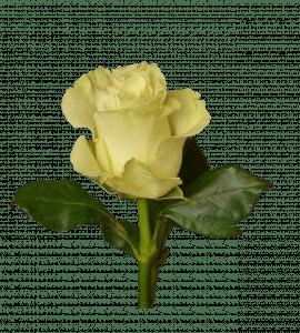 Роза Мондиаль – Інтернет-магазин квітів STUDIO Flores