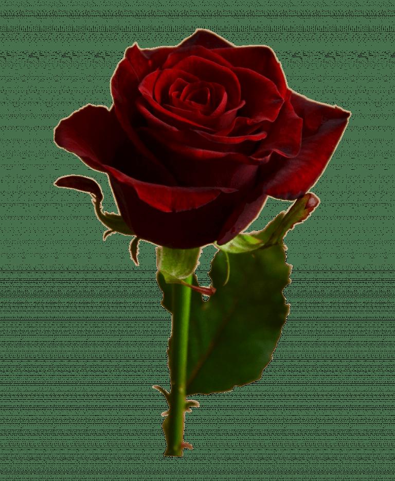 Роза Гран При – Интернет-магазин цветов STUDIO Flores
