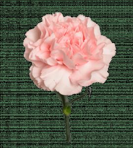 Гвоздика Peach Light – Интернет-магазин цветов STUDIO Flores
