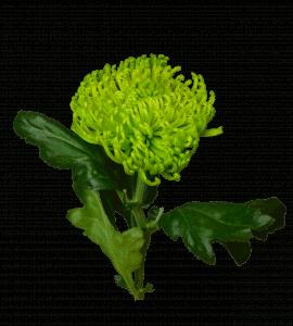 Хризантема зелена – Інтернет-магазин квітів STUDIO Flores
