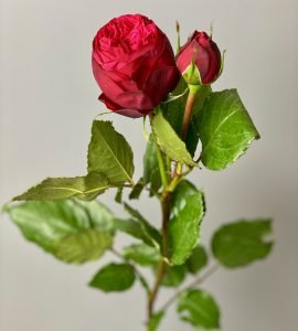 Пионовидная роза Пиано – Интернет-магазин цветов STUDIO Flores