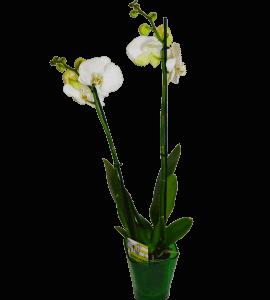 Біла орхідея фаленопсіс – Flower shop STUDIO Flores