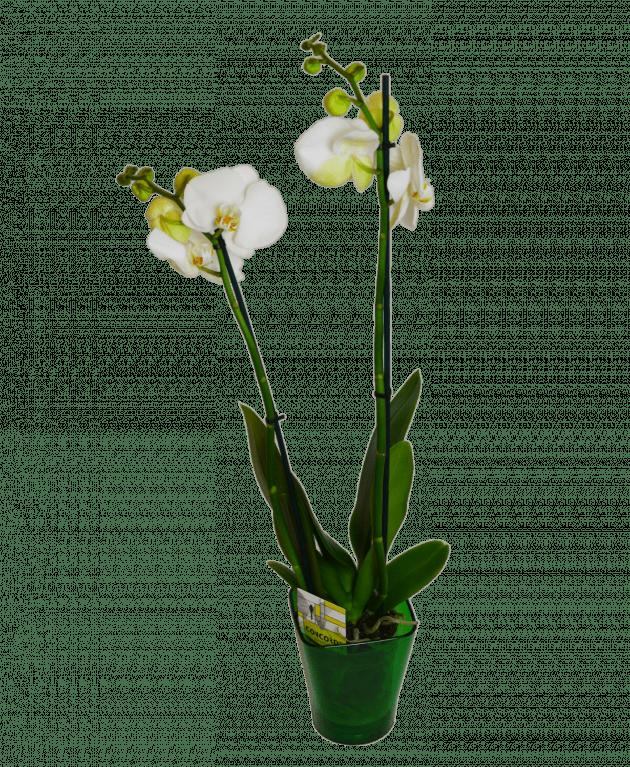 Біла орхідея фаленопсіс – Інтернет-магазин квітів STUDIO Flores