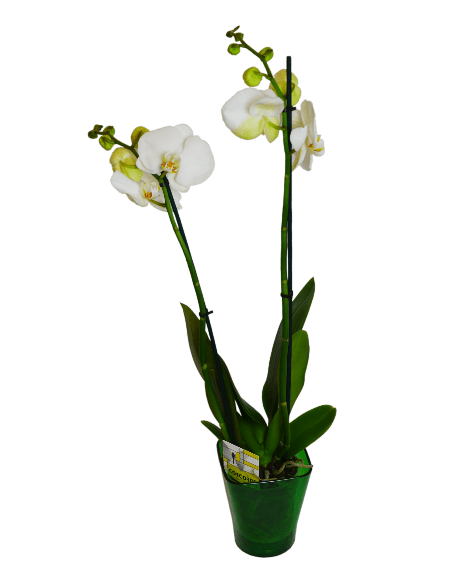 Order Bouquet Of Flowers White Orchid Phalaenopsis With Delivery