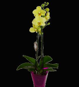 Лимонная орхидея фаленопсис – Інтернет-магазин квітів STUDIO Flores