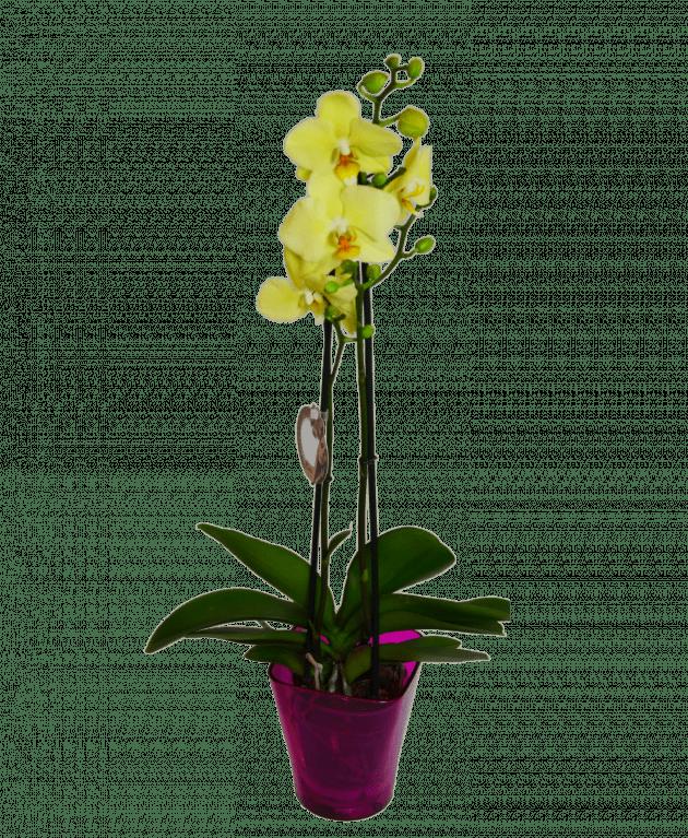 Соцветие орхидеи