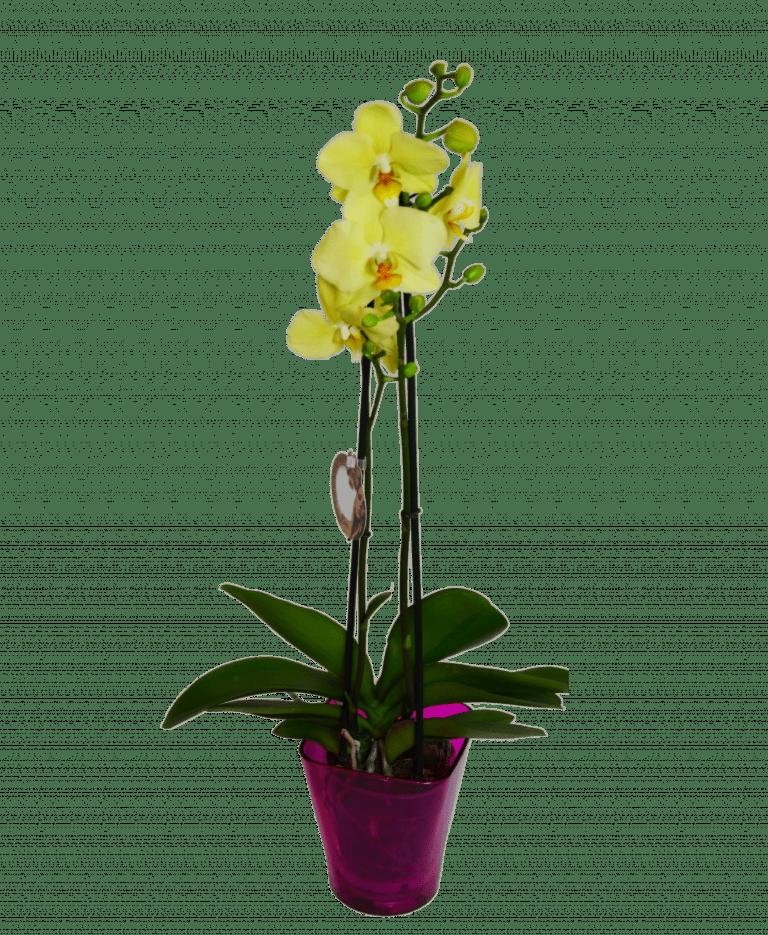 Лімонна орхідея фаленопсіс – Інтернет-магазин квітів STUDIO Flores