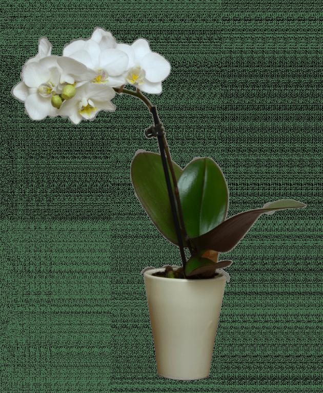 Орхидея фаленопсис мини – Интернет-магазин цветов STUDIO Flores