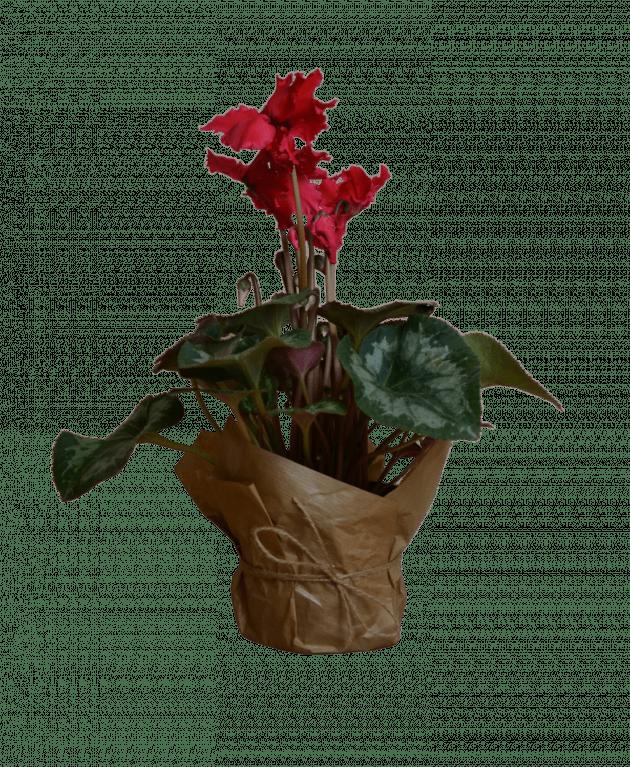 Cyclamen – Flower shop STUDIO Flores