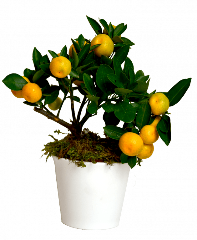 Цитрус Каламондин – Интернет-магазин цветов STUDIO Flores