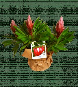 Протея Королевская – Flower shop STUDIO Flores