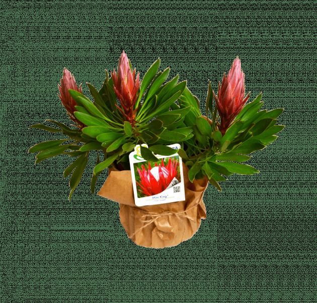 Royal Protea – Flower shop STUDIO Flores
