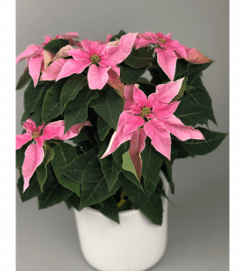 Пуансеттия – Интернет-магазин цветов STUDIO Flores