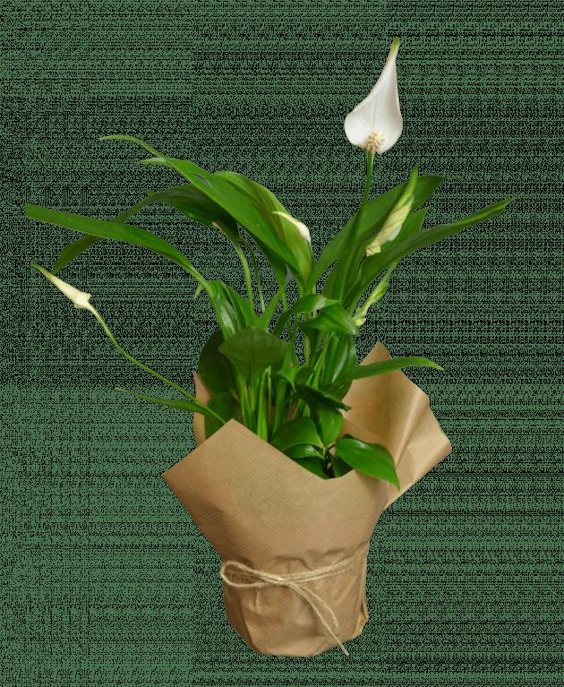 Цветок спатифиллума