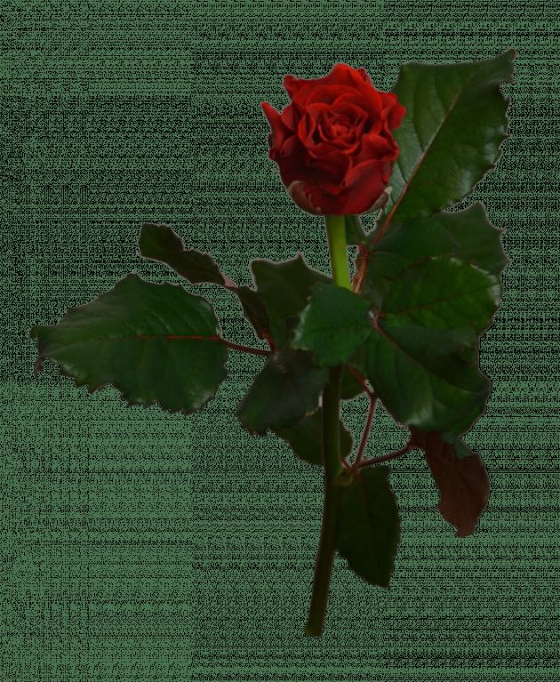 Роза Эль Торо – Интернет-магазин цветов STUDIO Flores