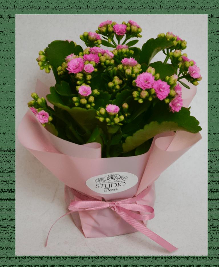 Коланхоэ – Интернет-магазин цветов STUDIO Flores