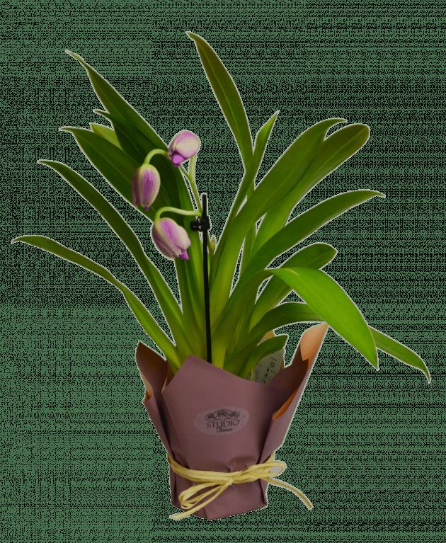 Орхідея Мілтонія – Інтернет-магазин квітів STUDIO Flores