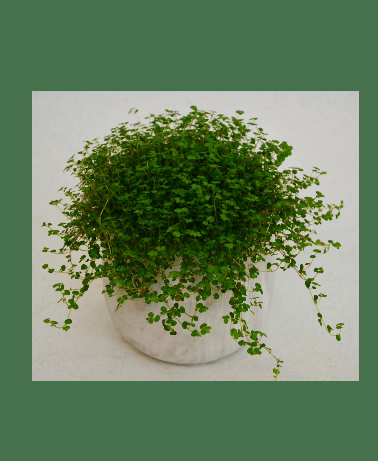 Солейролия – Интернет-магазин цветов STUDIO Flores