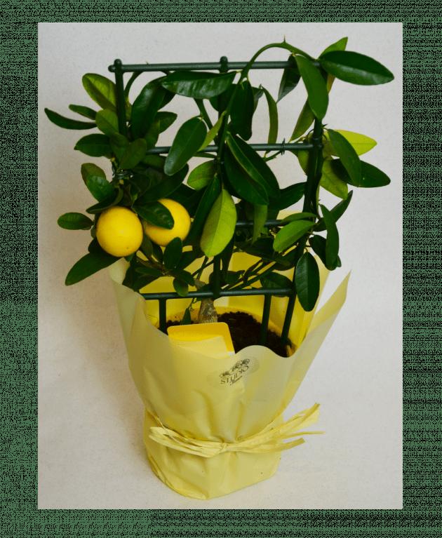 Цитрус Лимон – Интернет-магазин цветов STUDIO Flores