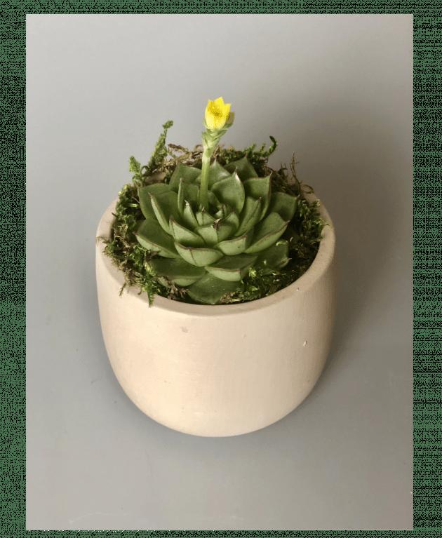 Эхеверия в кашпо – Интернет-магазин цветов STUDIO Flores