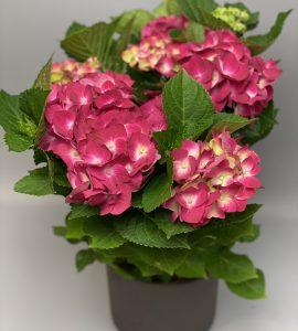 Гортензия – Flower shop STUDIO Flores