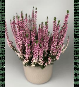 Вереск – Інтернет-магазин квітів STUDIO Flores