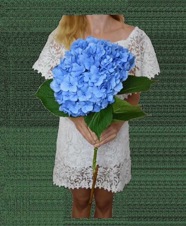 Синя гортензія – Інтернет-магазин квітів STUDIO Flores