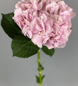 Рожева гортензія – Інтернет-магазин квітів STUDIO Flores