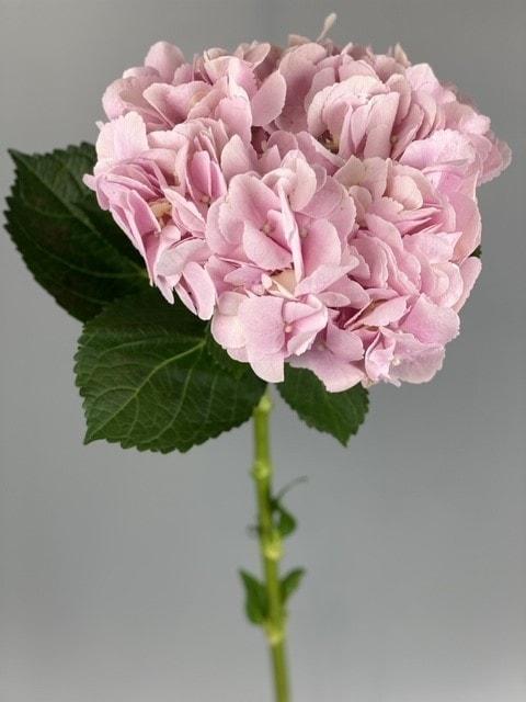 Розовая гортензия – Интернет-магазин цветов STUDIO Flores
