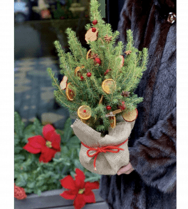 Ель Коника Красная – Интернет-магазин цветов STUDIO Flores
