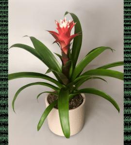 Гузмания – Інтернет-магазин квітів STUDIO Flores