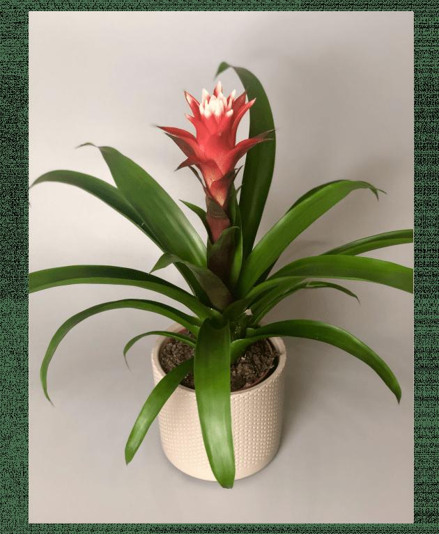 Гузмания – Интернет-магазин цветов STUDIO Flores