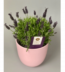 Лаванда – Интернет-магазин цветов STUDIO Flores