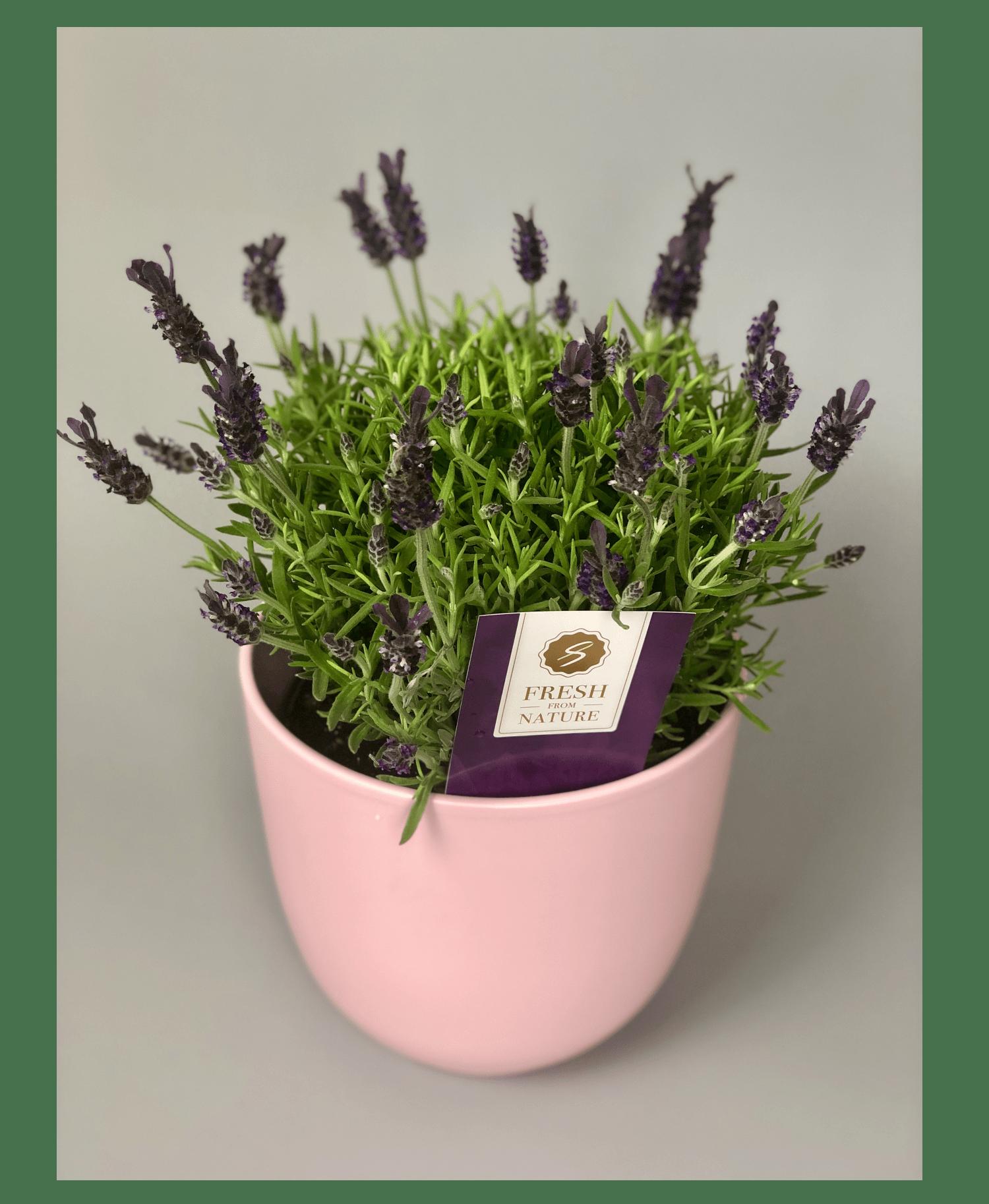 Лаванда – Інтернет-магазин квітів STUDIO Flores