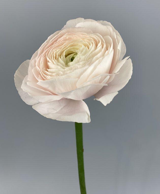 Ранункулюс пудровый – Интернет-магазин цветов STUDIO Flores