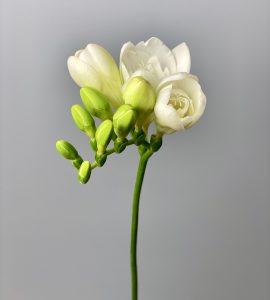 Фрезия белая – Интернет-магазин цветов STUDIO Flores