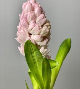 Гиацинт розовый – Интернет-магазин цветов STUDIO Flores